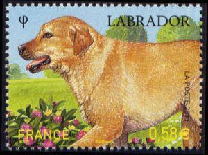 Labrador/