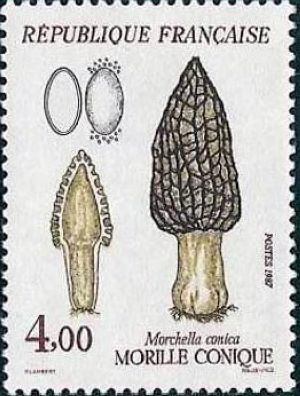 Morille conique (Morchella conica)