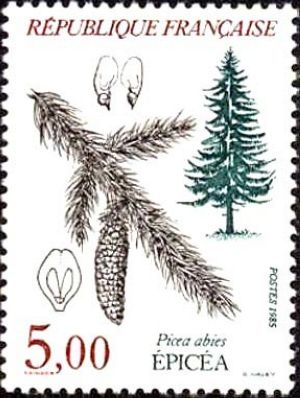 Epicéa (Picea abies)